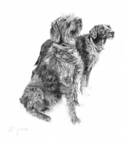 Wire Haired Pointers