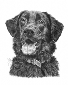 Flat Coat Retriever X German Shepherd