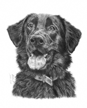 Flat Coat Retriever X GSD